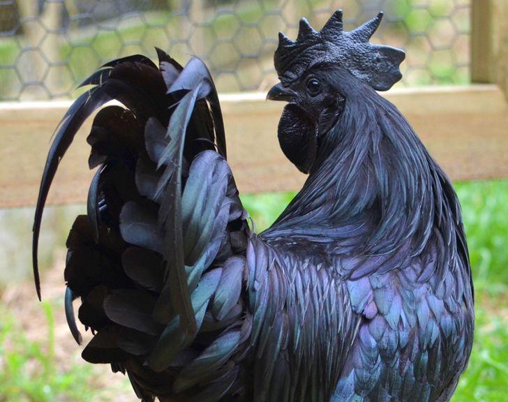 Ayam Cemani pollo negro (1)