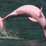 Pinky, la curiosa delfín de color rosa
