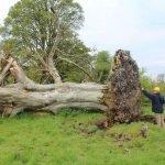 Esqueleto medieval es descubierto atrapado en las raíces de un árbol