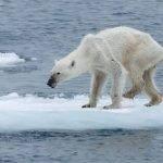 Un oso polar en los huesos, las consecuencias del cambio climático