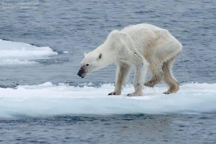 oso polar delgado