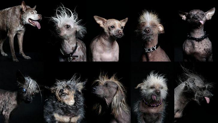 perros mas feos del mundo