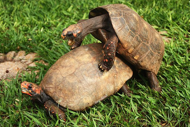 tortugas sexo