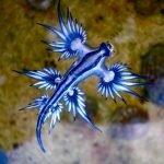 Dragón azul, hermoso y raro animal avistado en Australia
