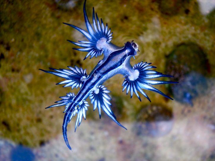 Glaucus atlanticus dragon azul