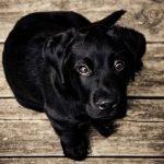 Los perros ayudaron a los humanos a prevalecer sobre los Neandertales