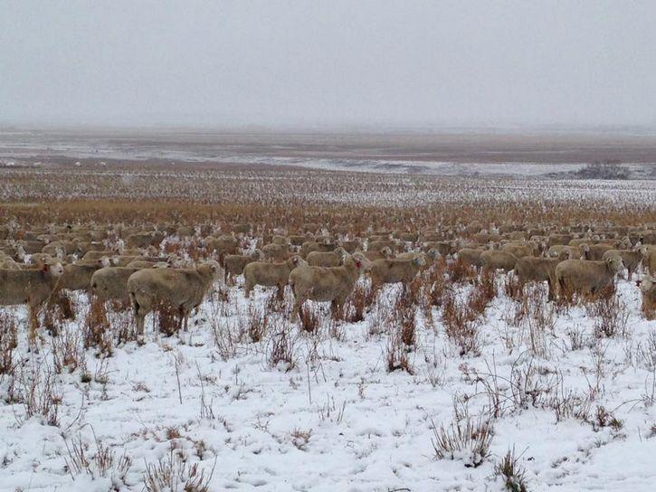 ovejas camuflaje (1)