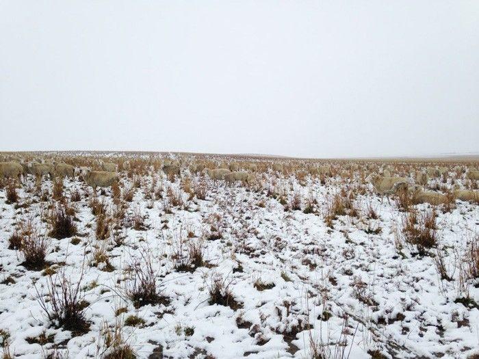 ovejas camuflaje (4)