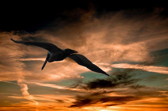 pelicano libertad