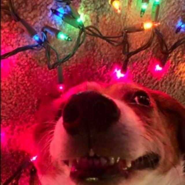 perros vs navidad (10)