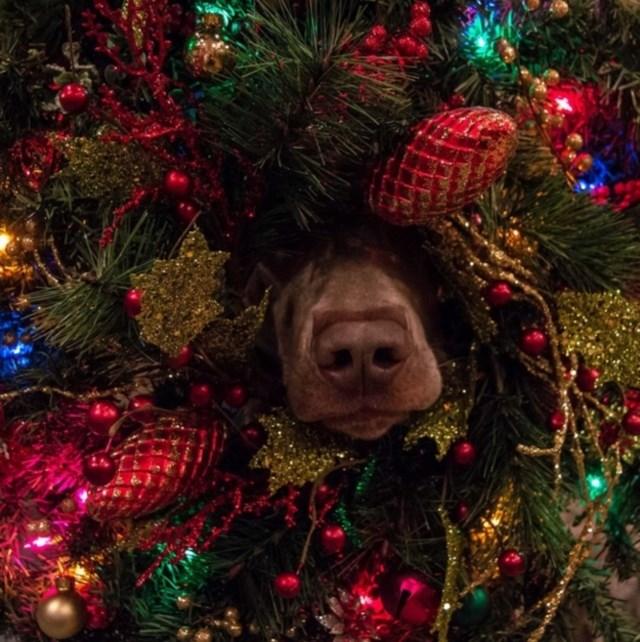 perros vs navidad (9)