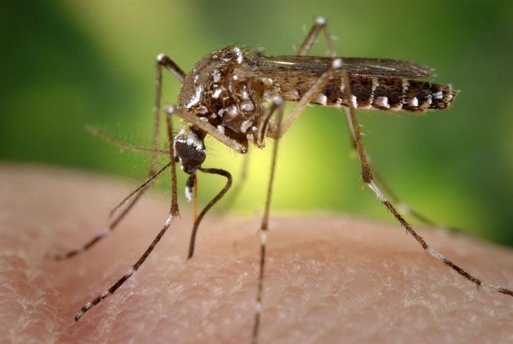 Aedes aegypti zoom
