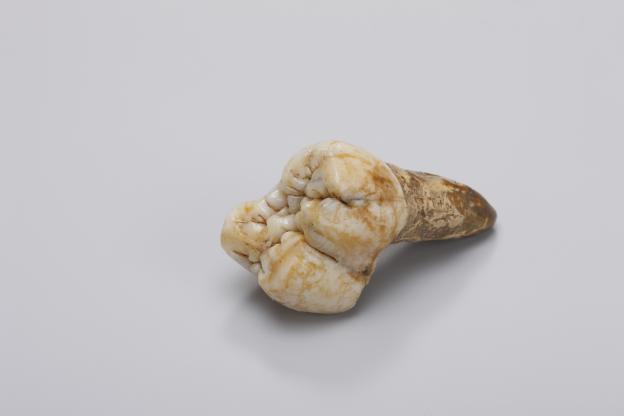 Diente de un Gigantopithecus