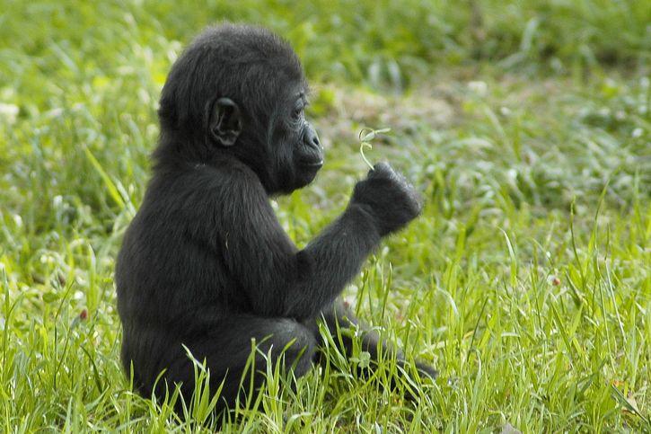 animal mono pensando