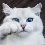 Coby, el gato de los ojos hermosos