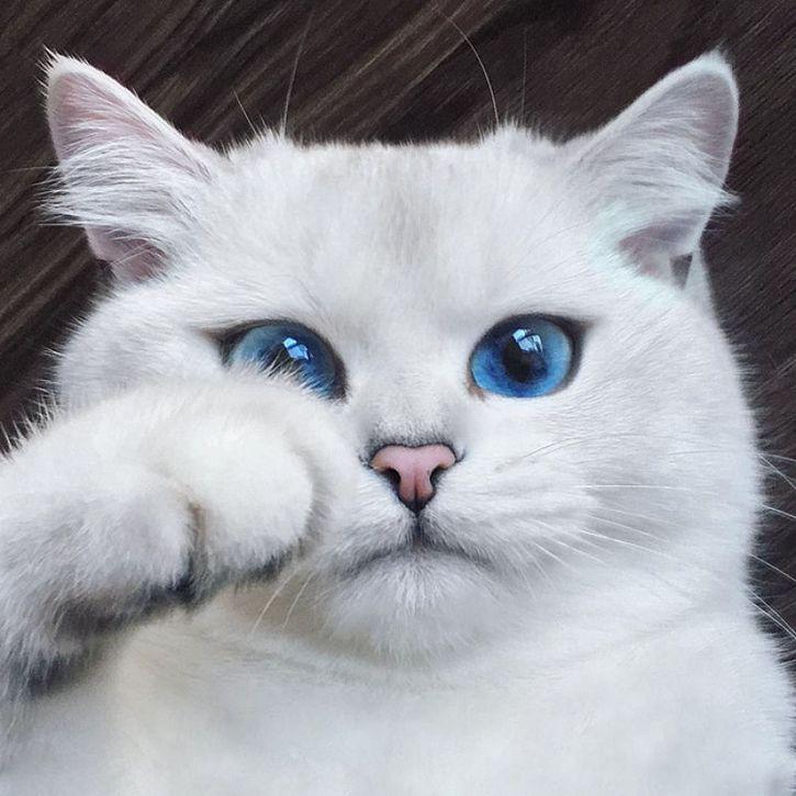 coby gato ojos azules (1)