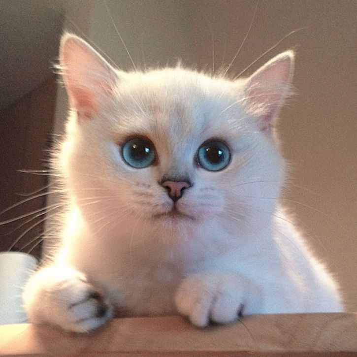 coby gato ojos azules (10)