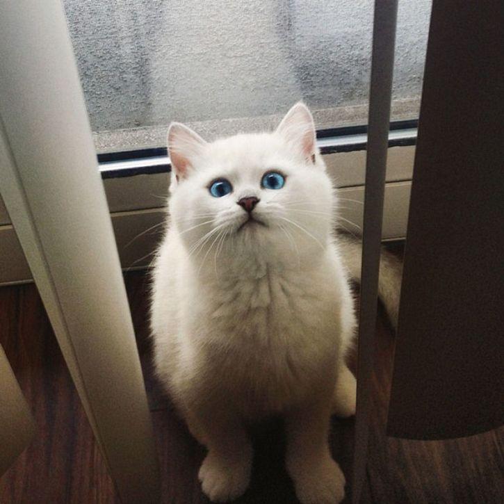 coby gato ojos azules (15)