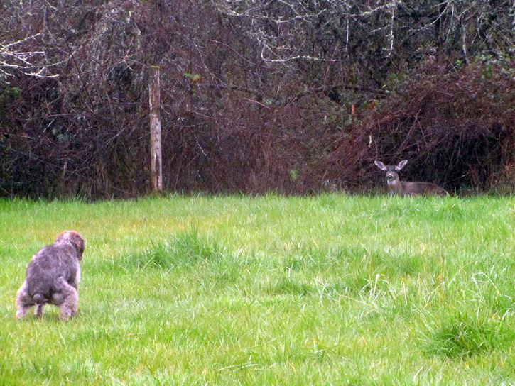 perro defecando ciervo mirando
