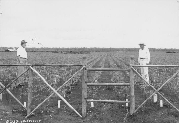 Parte de la plantación en Belterra, 1953.
