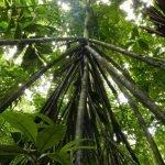 Los árboles en Ecuador que caminan hasta 20 metros al año