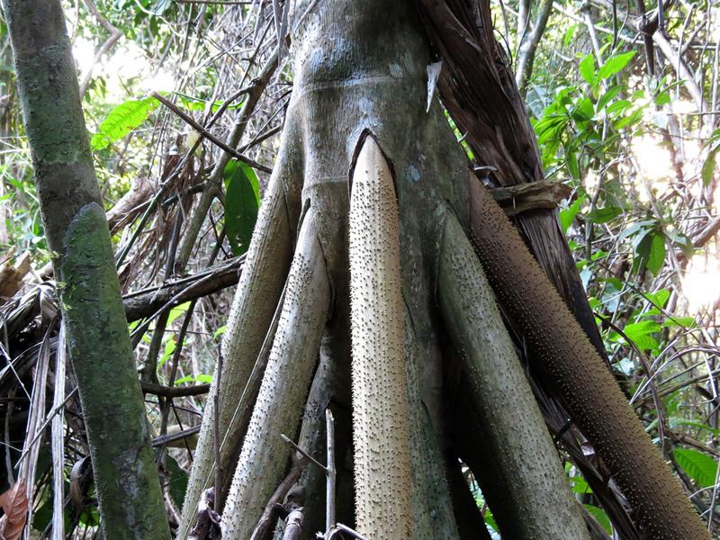 Socratea exorrhiza arbol raices