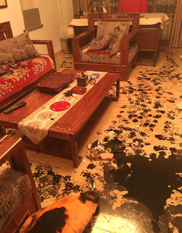 husky hace un desastre casa (2)