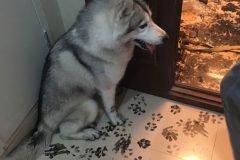 Familia va al cine y su husky los recibe con una redecoración a la casa
