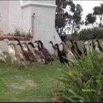"""900 patos protegiendo un viñedo con """"uñas y dientes"""""""