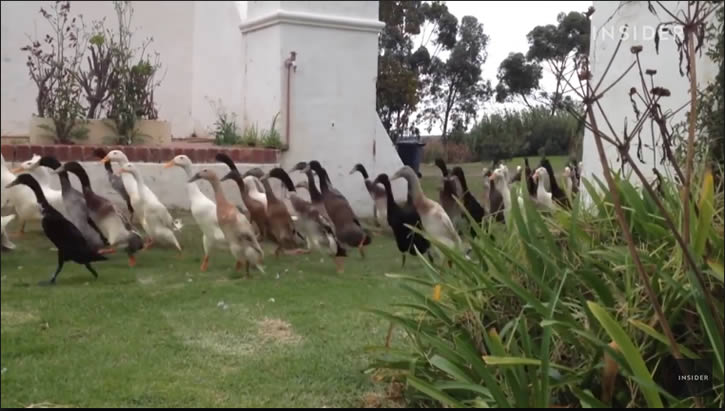 patos corriendo