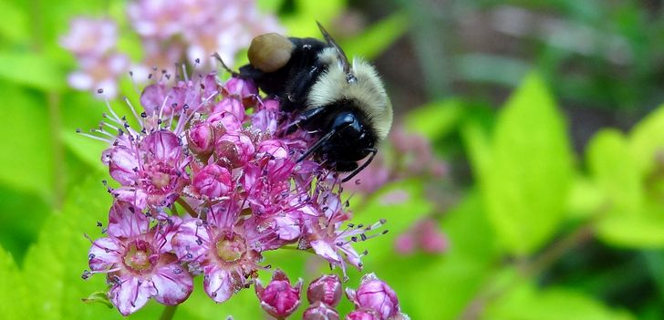 abejorro sobre flores rosas