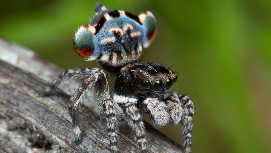 arañas pavoreal australia (1)