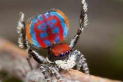 7 hermosas arañas pavorreal recién descubiertas por la ciencia