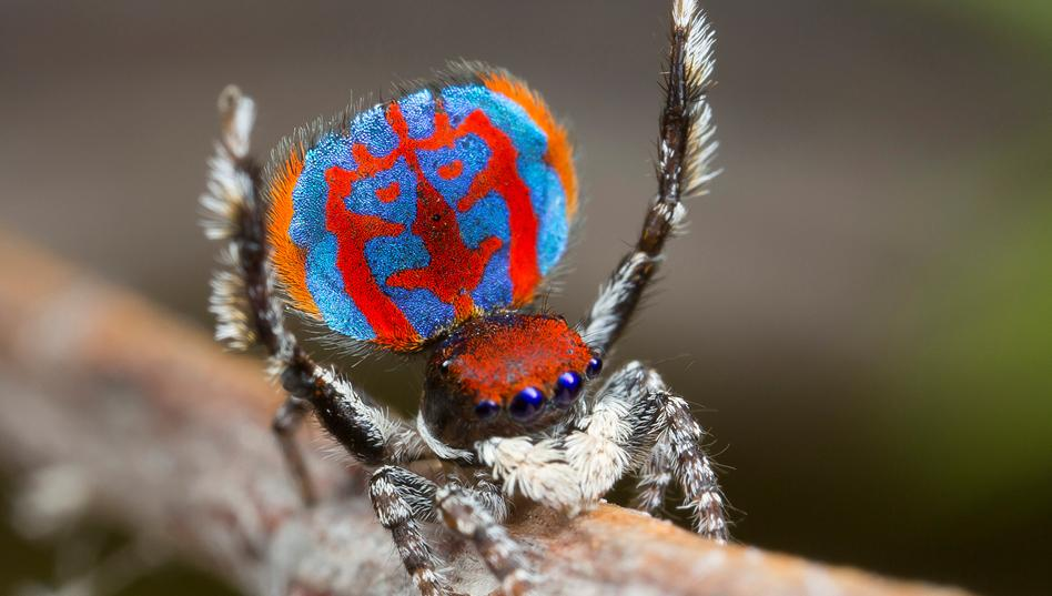 arañas pavoreal australia (2)