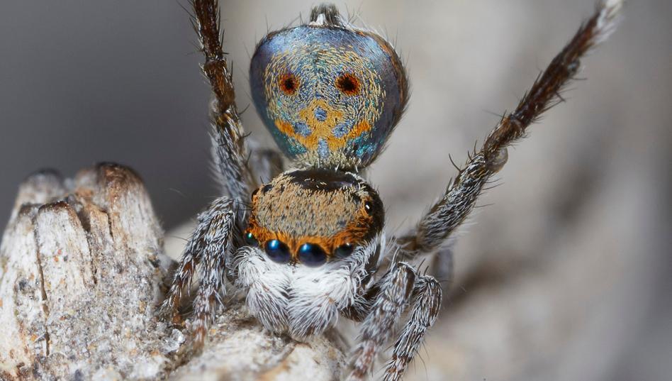 arañas pavoreal australia (4)