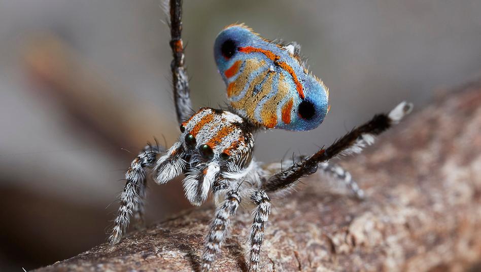 arañas pavoreal australia (5)