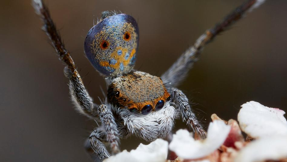 arañas pavoreal australia (6)