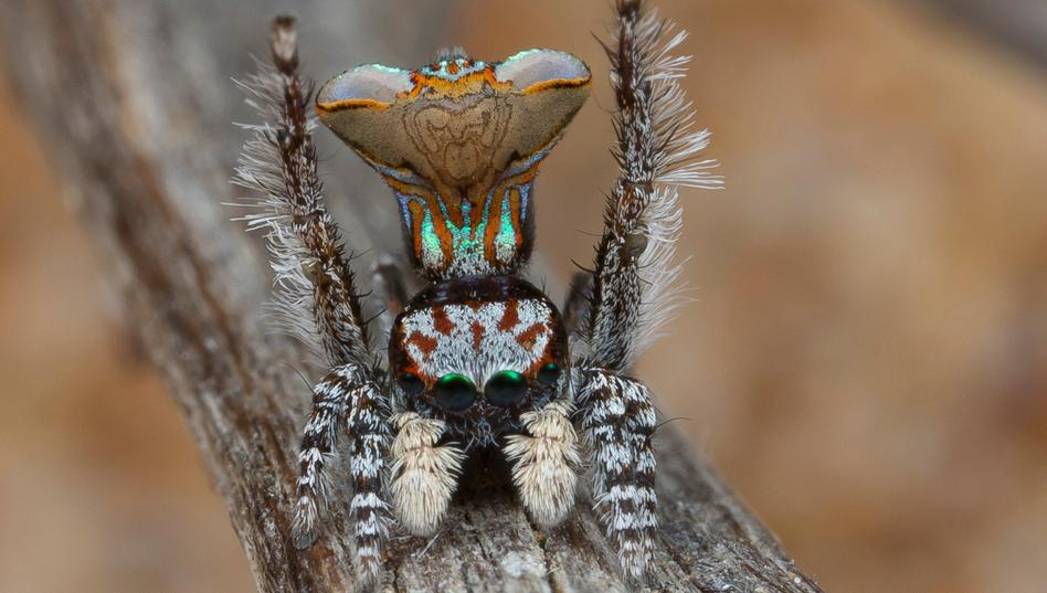 arañas pavoreal australia (7)