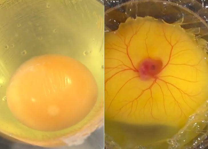 eclosion huevo fuera de cascaron antes despues