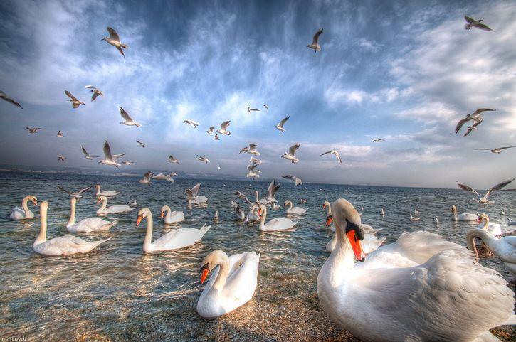 cisnes en una playa HDR