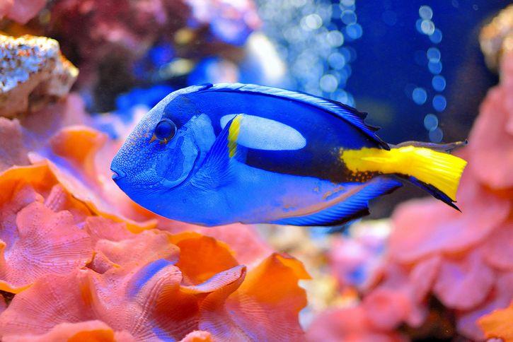 pez blue tang