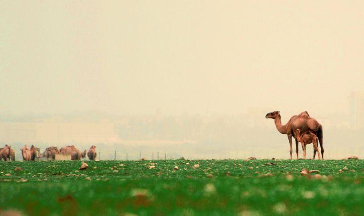 camellos en una pradera