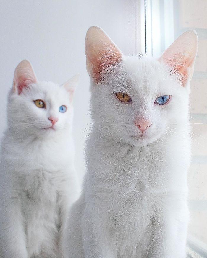 gatos blancos ojos dos colores (1)