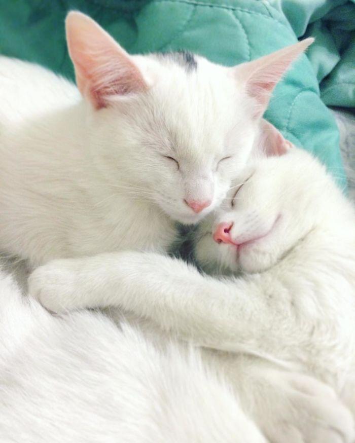 gatos blancos ojos dos colores (10)