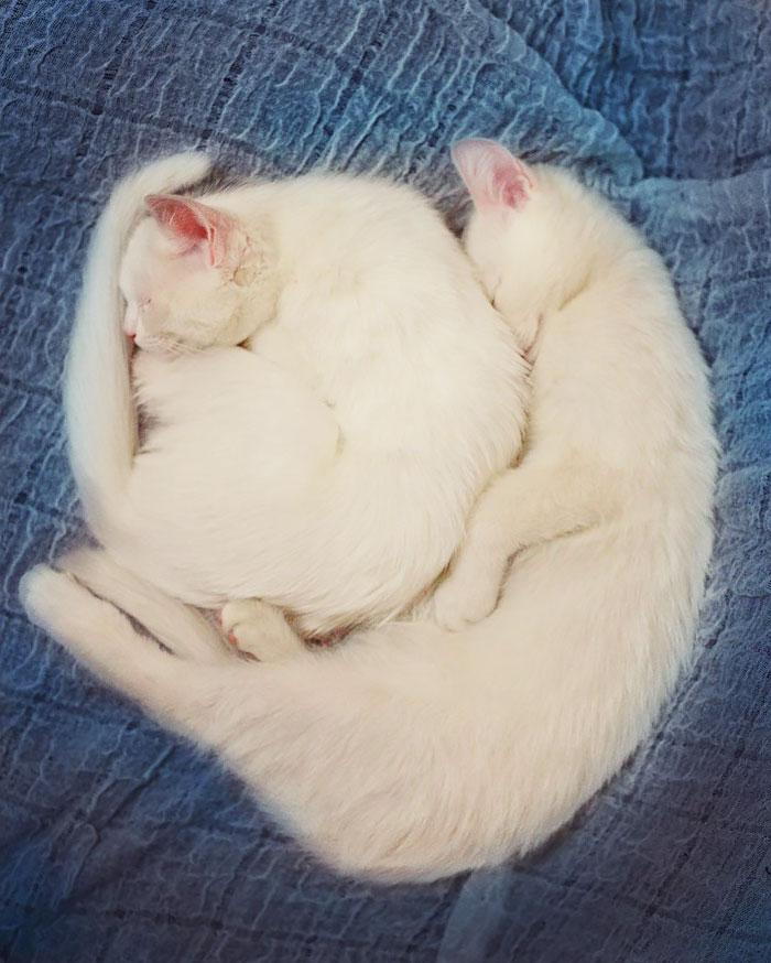 gatos blancos ojos dos colores (11)