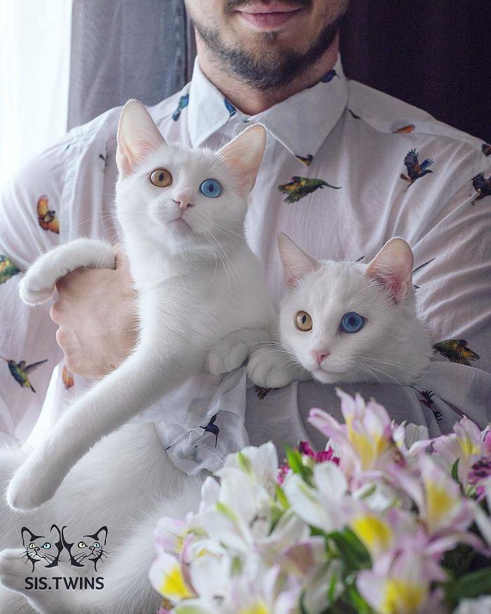 gatos blancos ojos dos colores (12)