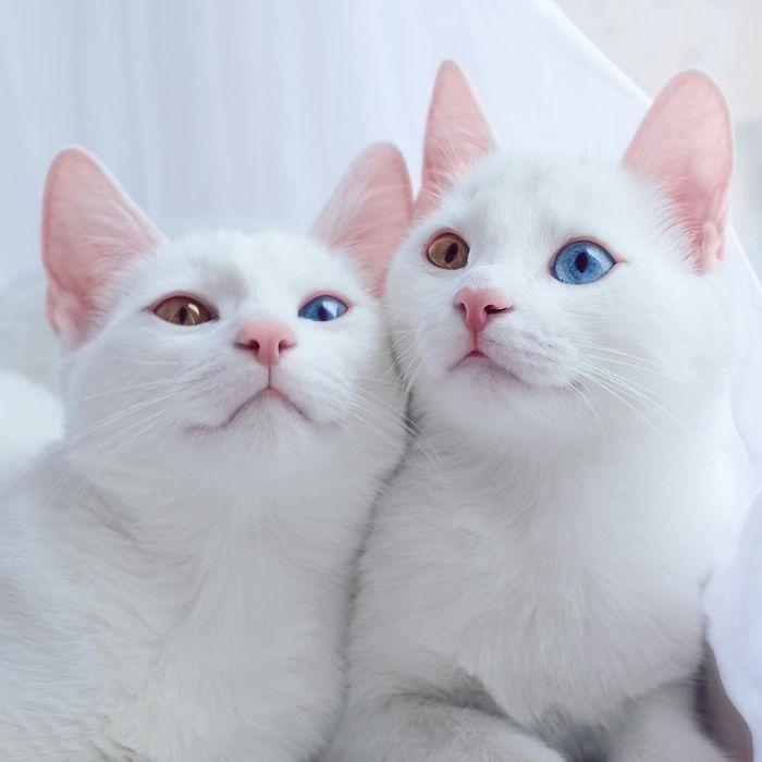 gatos blancos ojos dos colores (2)