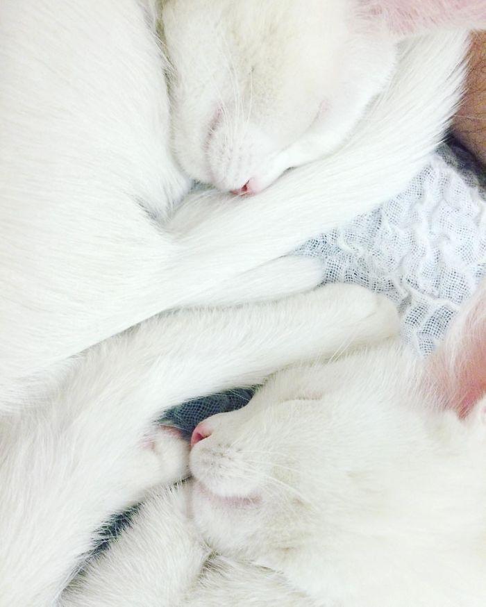 gatos blancos ojos dos colores (4)
