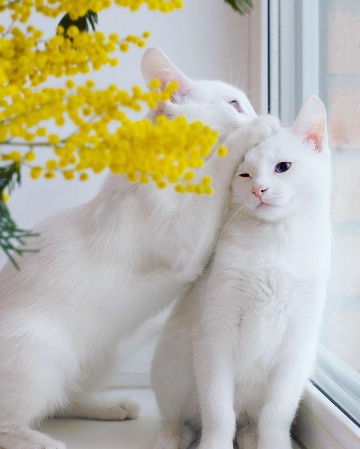 gatos blancos ojos dos colores (6)