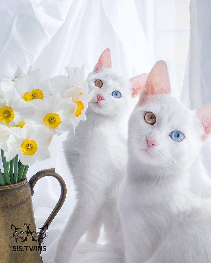 gatos blancos ojos dos colores (7)